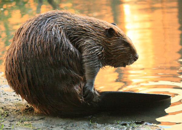 BEAVER REMOVAL